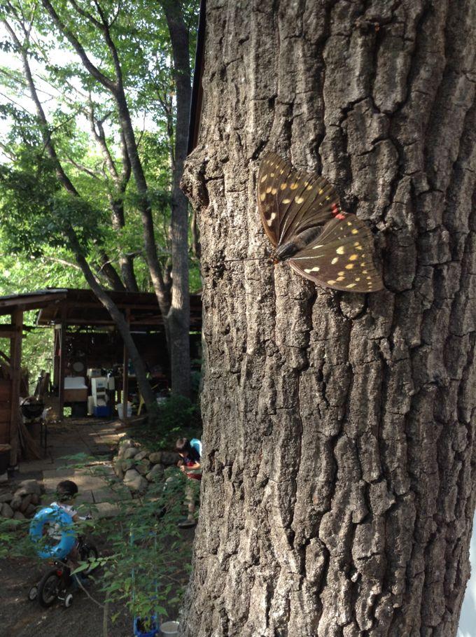 庭のオオムラサキ